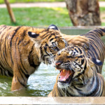 Tiger Kingdom Chiang Mai Increases Prices